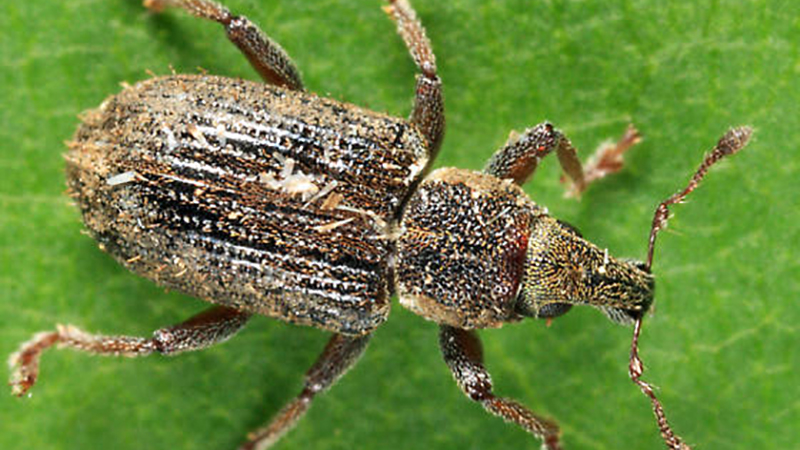Annual Bluegrass Weevil