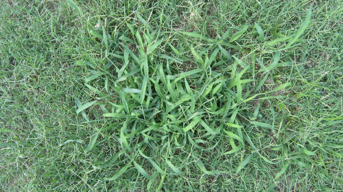 Southern Crabgrass