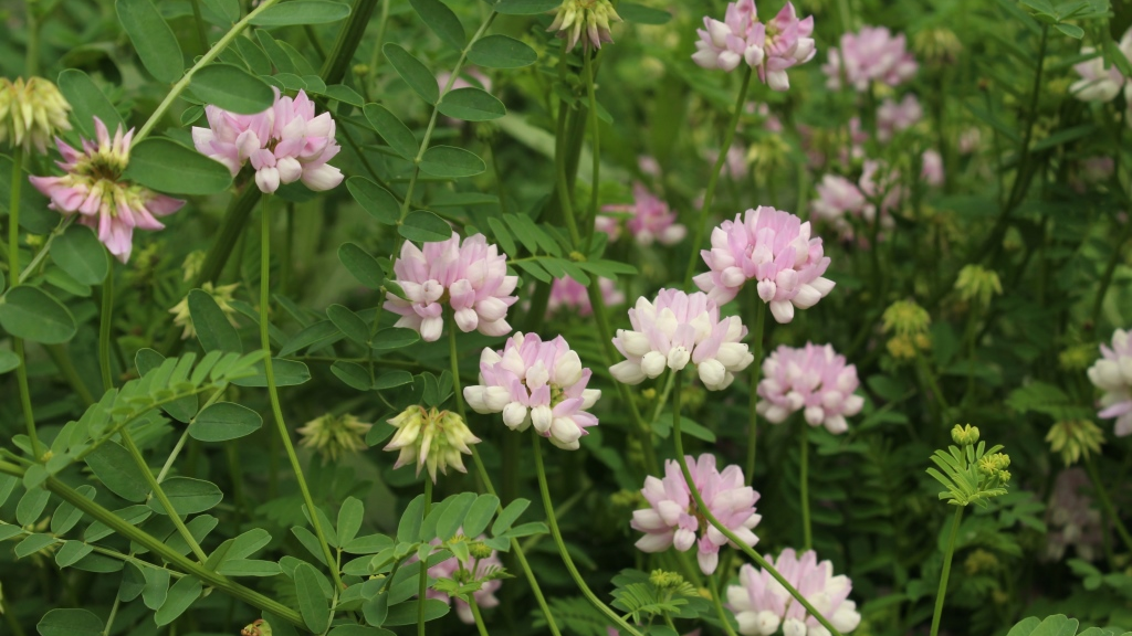 Crownvetch