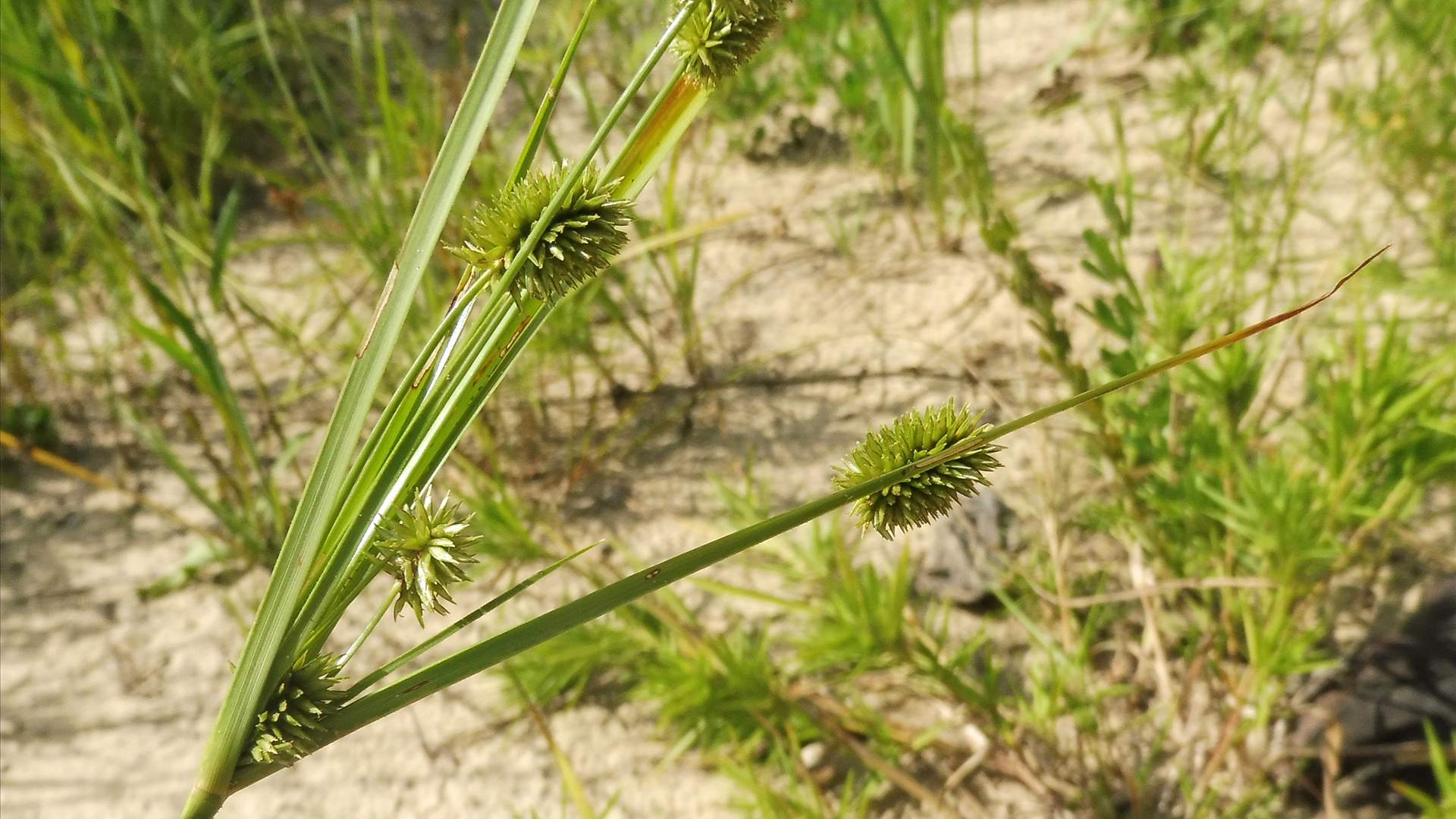Cylindrical Sedge