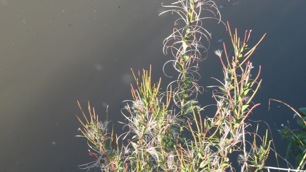 Panicle Willowweed