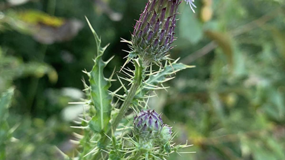 Canada Thistle Weed Killer - Lawn Dork™